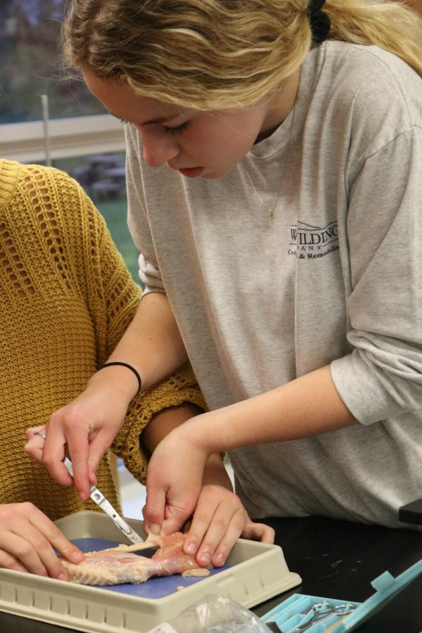Junior Audrey Weir is trying to remove the skin on a chicken wing. On Nov. 6 Anatomy students try to remove the skin form a chicken wing in Lisa Stewarts classes.