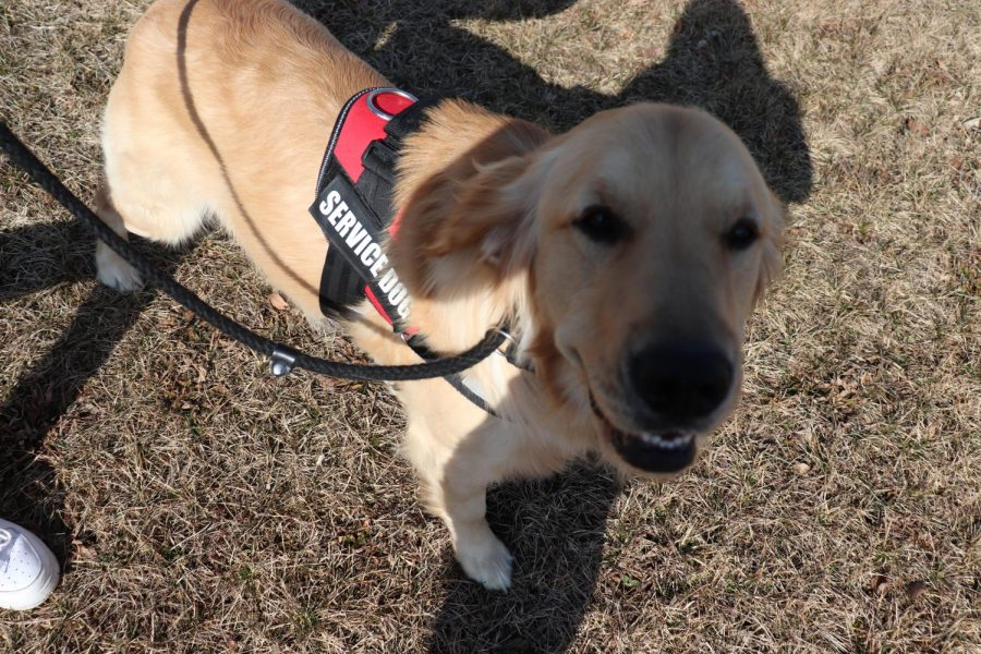 Sunny the service dog smiles at the camera on his walk outside. On March 17, senior Cadyn Reger took Sunny outside for a break during 2nd hour.
