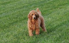 Fenton High's third therapy dog, Simon